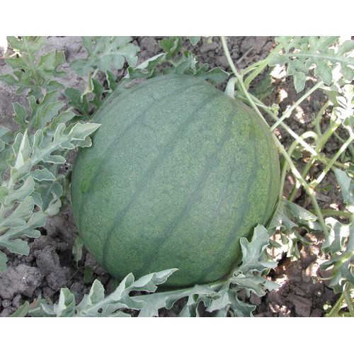 Tarmen Tohumculuk Washington 26 Karpuz tohumu 10 gr